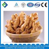 2016 China Fresh Ginger Very Popular