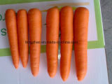 150g- 200g 2017 New Crop Chinese Fresh Carrot in Carton