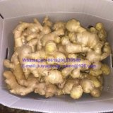 New Crop Shandong Origin Fresh Ginger