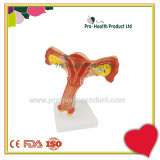 Female Internal Genital Organs Uterus Anatomical Model