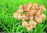 New Crop Ginger with Competetive Price