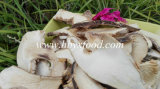 Organic Dried Matsutake Mushroom Slice for Sale