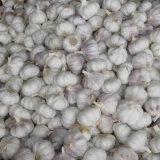 New Crop Fresh Chinese Normal White Garlic