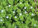Figwort Extract