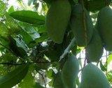 CAS 4773-96-0 Mango Leaves Extract 95%