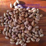Long Shape Health Food Pinto Bean Light Speckled Kidney Bean