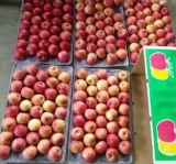 Good Quality of Fresh Apple Strip Red Color