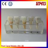 Dental Study Supplies Tooth Clinic Model