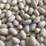 Baishake Top Quality White Kidney Bean