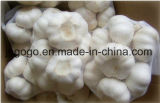 5.5cm Pure White Garlic