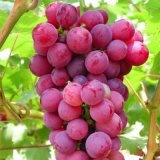 GMP Certified Natural 95% Proanthocyanidins Grape Seed Extract