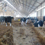 Made in China Steel Structure Cowshed (SSA-001)