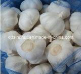 2015crop Pure White Garlic (5.0cm&up)