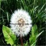 100% Natural Wild Dandelion Pollen Tablets