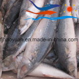 Small Size Frozen Pacific Mackerel (PM008)
