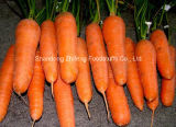 New Crop Carrot with Bottom Price