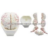 Model of Brain and Brain Artery Model