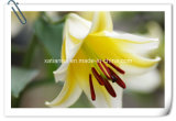 Manufacturer Natural Lily Bulbs and Flowers Extract Powder