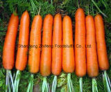 Chinese Fresh New Carrot for Export