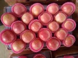 Golden Supplier for Chinese Fresh Red FUJI Apple/Qinguan Apple