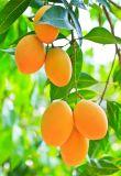 Factory Supply Natural Mango Extract Mangiferin 90% 95%