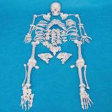 170cm Human Scattered Skeleton Medical Teaching Bone Model