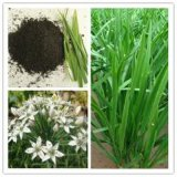 High Quality Tuber Onion Seed Dry Extract