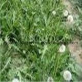 Dandelion Pollen Tablets