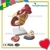 Double size amplification human heart with number remark anatomical model