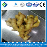 2016 Fresh Chinese Ginger for Exporting with High Quality
