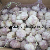 Fresh White Garlic with Loose Packing