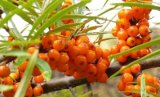 Seabuckthorn Extract with 20%Flavonoids for Food Supplement