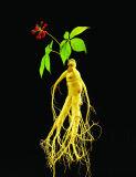100% Natural Ginseng Root Extract Ginsenosides
