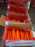 Top Quality Shandong Carrot for Exporting