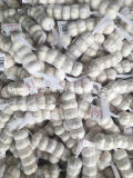 Fresh Garlic for European Market