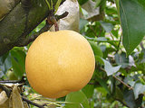 China New Crop Fengshui Pear