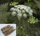 Factory Natural Angelica Sinensis/ Radix Angelicae Sinensis Extract Powder