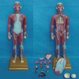 85cm Medical Musclar Torso Anatomy Human Body Model