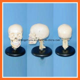 Plastic Human Skull Model with Cervical Spine for Educational