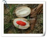 Manufacturer Natural Nutmeg/ Myristica Fragrans 10: 1 Extract Powder
