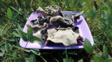 Dried White Back Black Fungus and Purchasing Large Qty Wood Ear Mushroom