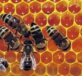Bee Propolis/ Royal Jelly