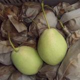 Good Quality Fresh New Crop Shandong Pear