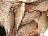 Chinese Frozen Tilapia Price 300-500g