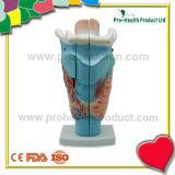 Medical Anatomical Human Larynx Model