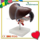 Medical Anatomical Human Liver Model for Education