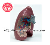 plastic human heart model