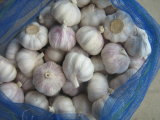 2012 Fresh Garlic