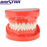 Standard Dental Teeth Model Red Color Teaching Use for Sale
