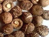 Shiitake Mushroom Extract Capsule Dietary Supplement (JLCS026)